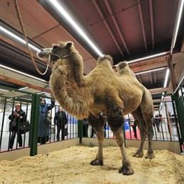 """В рамках выставки """"Золотая осень"""" на ВДНХ покажут верблюда-гиганта"""