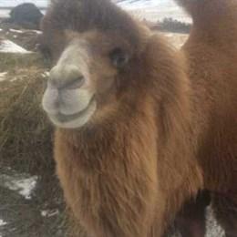 Верблюдов-гигантов вырастил фермер в Хакасии