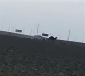 В Сети опубликовали видео погони полицейской машины за верблюдами в Актау