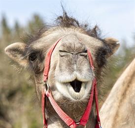 Верблюд заглянул в магазин и стал звездой сети