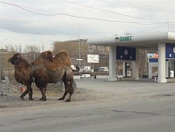 На заправке в Сатке припарковали верблюда