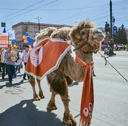 Нарушили традицию: челябинского верблюда Григория в этом году не взяли на демонстрацию