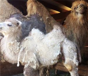 В зоопарке Белгорода поселился двухмесячный верблюжонок