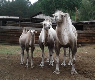 Фотография верблюдов из Бурятии покоряет Сеть