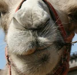 В Кирове на сайте бесплатных объявлений продают верблюдицу Люсю