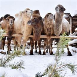 Новогодние елки переработали в Сергиевом Посаде. Помогли в этом верблюды