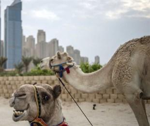 Принц Дубая и его верблюды вызвали умиление в соцсетях