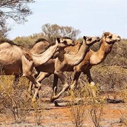Сарадж спасает верблюдов из Триполи