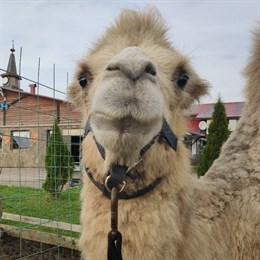 В Тверской области живет верблюжонок Томмис, мечтающий выполнять трюки, как лошади