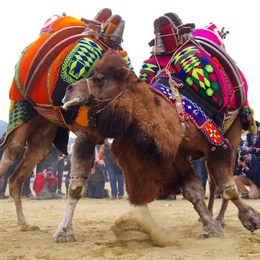 Верблюды используются для боев в Турции, в то время как зрители смотрят «шоу» и едят мясо верблюда