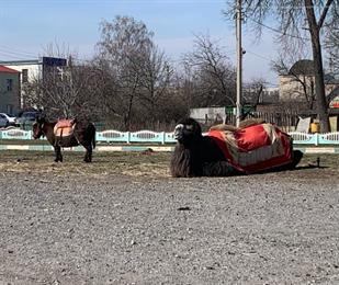 Верблюду Чирчику и ослихе Миле не хватает денег на отъезд из Белгородской области