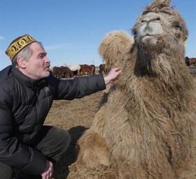 Тюменские верблюды обожают морковь и любят ходить строем