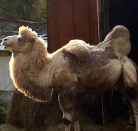 Тюменский верблюд Кеша выкуплен за 300 тыс. рублей