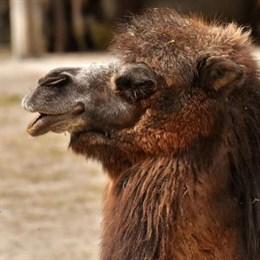 Знаменитого верблюда Гришу из Фиагдона продают за 250 тысяч рублей на «Авито»