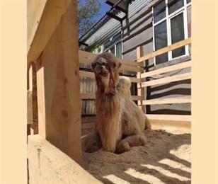 В Самаре страдает единственный верблюд