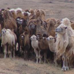 Астраханская область лидирует по поголовью верблюдов в России