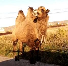 Красноярец неожиданно встретил на дороге верблюда