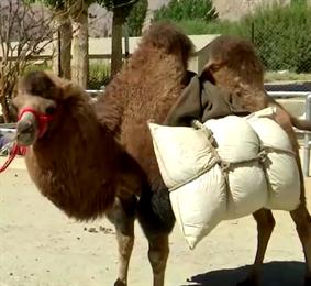 Индия меняет мулов на верблюдов