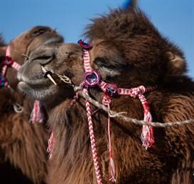 На севере Китая завершился конкурс красоты верблюдов