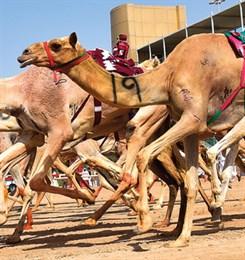 Верблюжьи бега внесли в список нематериального наследия ЮНЕСКО.