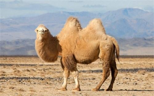Верблюдица  - Пелагея - фото 6691