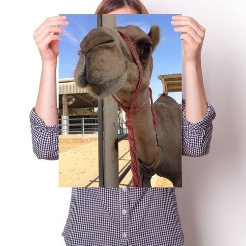 Постер - Верблюд Любопытный - фото 6866