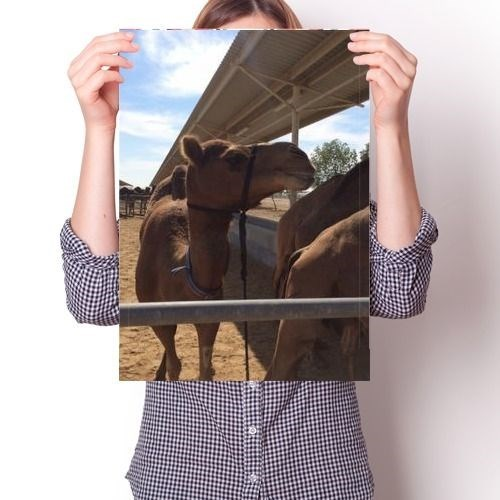 Постер - Верблюд N3 - фото 6869