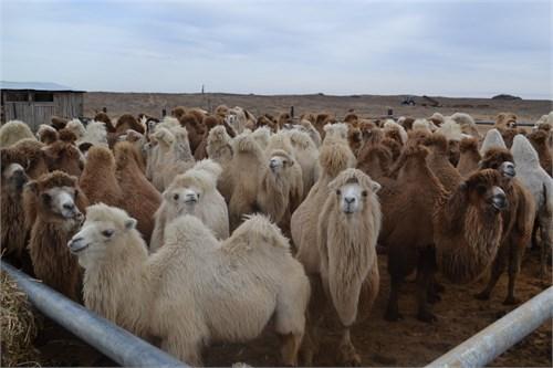 Верблюжонок -Трамп - фото 7151
