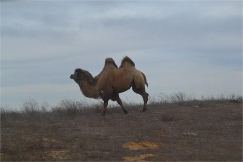 Верблюд  - Астерикс - фото 7152