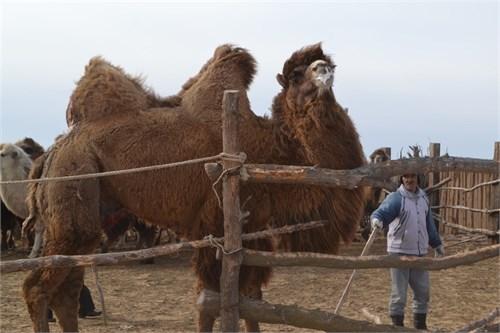 Верблюд  - Миг - фото 7156