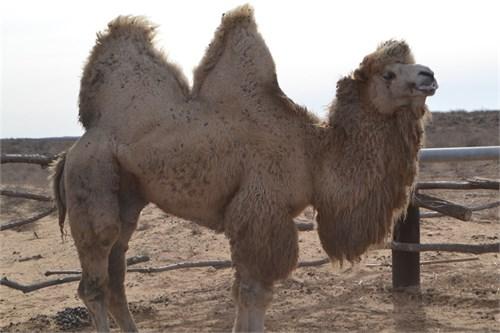 Верблюд  - Пегас - фото 7168