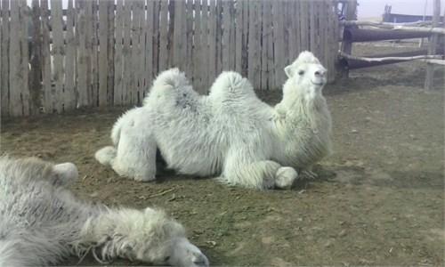 Верблюд  - Персей - фото 7180
