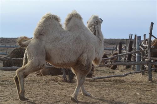 Верблюд  - Опиум - фото 7181