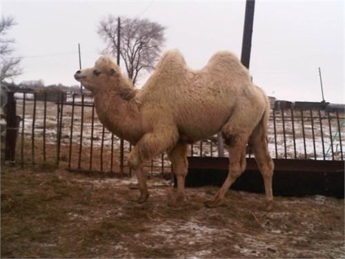 Верблюд  - Хота - фото 7182