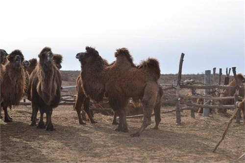 Верблюдица  - Бэтти - фото 7183