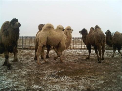Верблюдица  - Магнолия - фото 7184