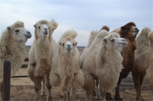 Верблюдица  -  Атлантида - фото 7185
