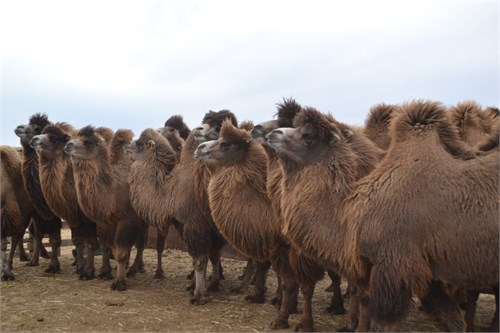 Верблюдица  -  Богема - фото 7186