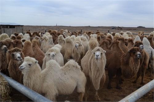 Верблюжонок - Имхо - фото 7188
