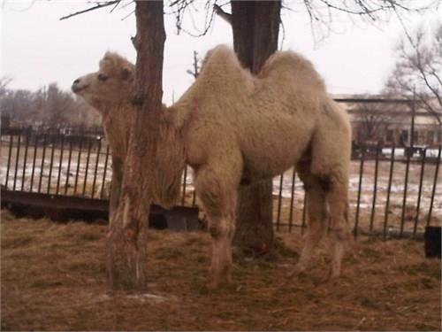 Верблюжонок - Белоснежка - фото 7189