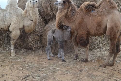 Верблюдоматка с верблюжонком - Инесса - фото 7191