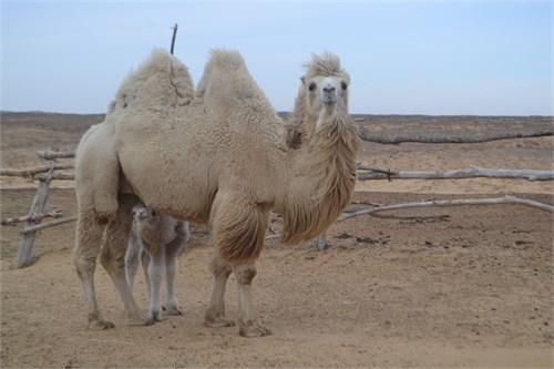 Верблюдоматка с верблюжонком - Илона - фото 7217
