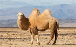 Верблюдица  - Пелагея