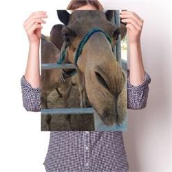 Постер - Верблюд Милашка