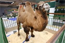 Верблюд  - Хан ( Звезда  выставки Золотая осень 2016 )