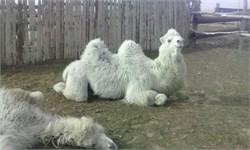 Верблюд  - Персей